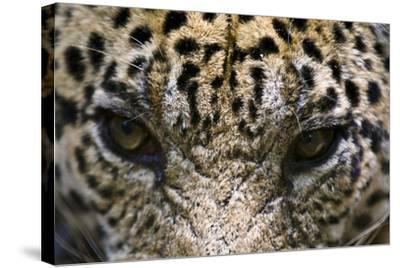 The Menacing Stare of a Jaguar, the Top Predator of the Amazon Rainforest-Jason Edwards-Stretched Canvas Print