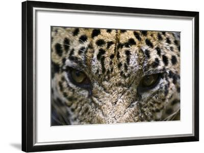 The Menacing Stare of a Jaguar, the Top Predator of the Amazon Rainforest-Jason Edwards-Framed Photographic Print