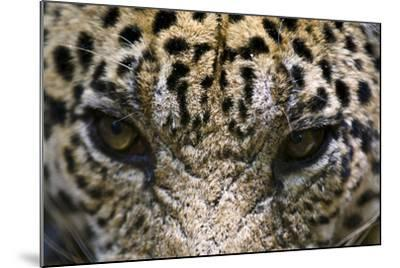 The Menacing Stare of a Jaguar, the Top Predator of the Amazon Rainforest-Jason Edwards-Mounted Photographic Print