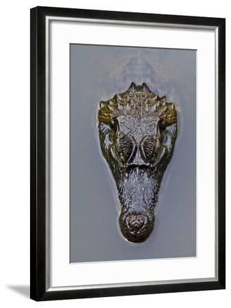 The Prehistoric Scaled Head of a Spectacled Caiman Floating on the Surface of a Wetland Pool-Jason Edwards-Framed Photographic Print