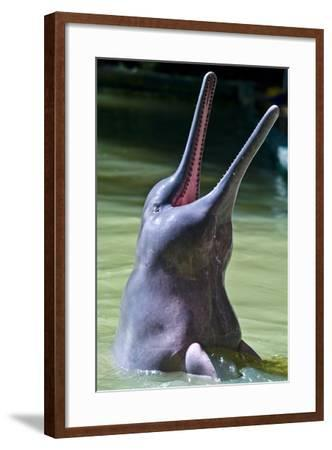 An Amazon River Dolphin Leaping Out of the Water Displays Rows of Teeth in its Long Beak-Jason Edwards-Framed Photographic Print