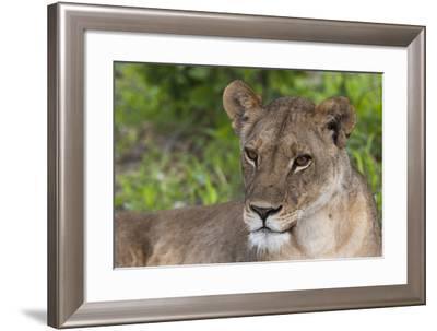 Close Up Portrait of a Lioness, Panthera Leo, Resting-Sergio Pitamitz-Framed Photographic Print