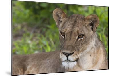Close Up Portrait of a Lioness, Panthera Leo, Resting-Sergio Pitamitz-Mounted Photographic Print
