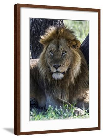 A Male African Lion Resting in the Shade of a Tree During the Midday Heat-Jason Edwards-Framed Photographic Print