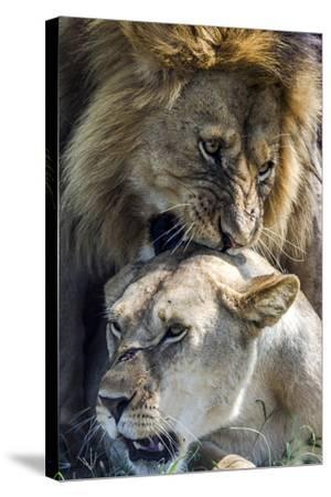 A Male African Lion Bites the Back of the Neck of a Lioness with His Canine Teeth During Mating-Jason Edwards-Stretched Canvas Print