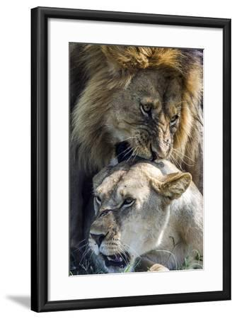A Male African Lion Bites the Back of the Neck of a Lioness with His Canine Teeth During Mating-Jason Edwards-Framed Photographic Print