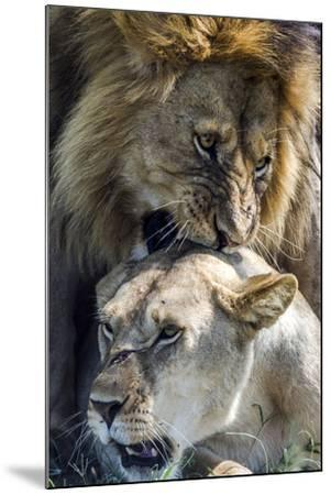 A Male African Lion Bites the Back of the Neck of a Lioness with His Canine Teeth During Mating-Jason Edwards-Mounted Photographic Print