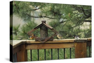 Baltimore Orioles and a Rose-Breasted Grosbeak at a Birdfeeder-Michael Forsberg-Stretched Canvas Print