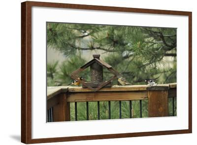 Baltimore Orioles and a Rose-Breasted Grosbeak at a Birdfeeder-Michael Forsberg-Framed Photographic Print