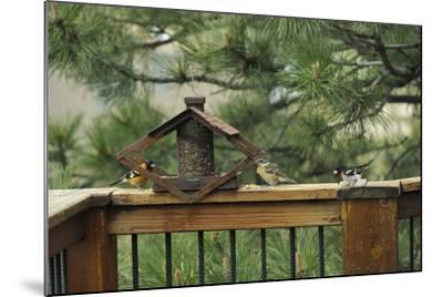Baltimore Orioles and a Rose-Breasted Grosbeak at a Birdfeeder-Michael Forsberg-Mounted Photographic Print