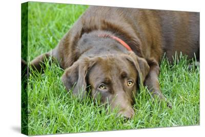 Close Up Portrait of a Pet Chocolate Labrador Retriever Dog Lying in the Grass-Michael Forsberg-Stretched Canvas Print
