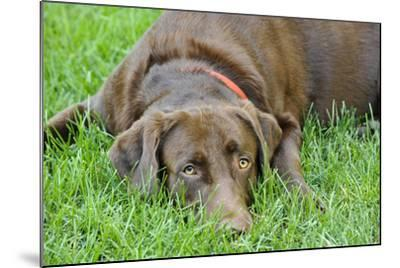 Close Up Portrait of a Pet Chocolate Labrador Retriever Dog Lying in the Grass-Michael Forsberg-Mounted Photographic Print