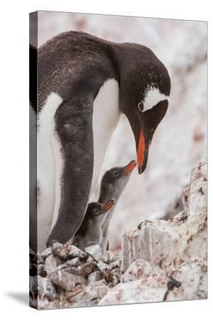 A Gentoo Penguin and Two Chicks-Tom Murphy-Stretched Canvas Print