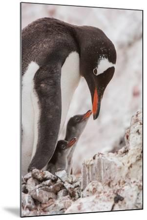 A Gentoo Penguin and Two Chicks-Tom Murphy-Mounted Photographic Print