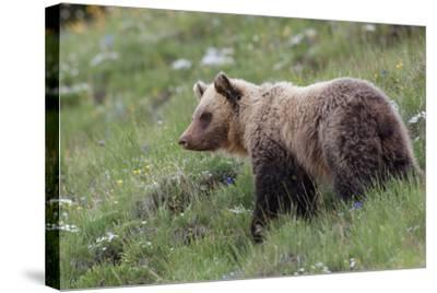 A Grizzly Bear Standing on a Hillside in a Field of Wildflowers-Tom Murphy-Stretched Canvas Print