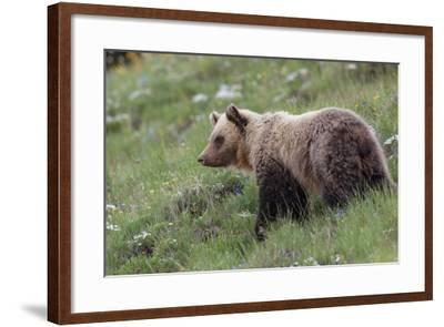 A Grizzly Bear Standing on a Hillside in a Field of Wildflowers-Tom Murphy-Framed Photographic Print