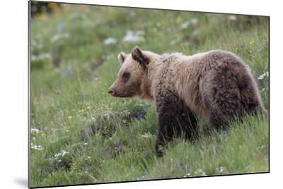 A Grizzly Bear Standing on a Hillside in a Field of Wildflowers-Tom Murphy-Mounted Photographic Print