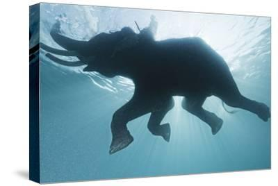 A Mahout, Rides Rajan the Elephant, While it Swims in the Andaman Islands-Cesare Naldi-Stretched Canvas Print