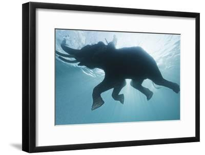 A Mahout, Rides Rajan the Elephant, While it Swims in the Andaman Islands-Cesare Naldi-Framed Photographic Print