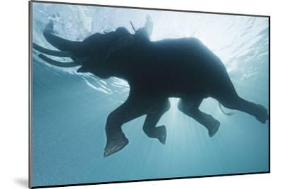 A Mahout, Rides Rajan the Elephant, While it Swims in the Andaman Islands-Cesare Naldi-Mounted Photographic Print