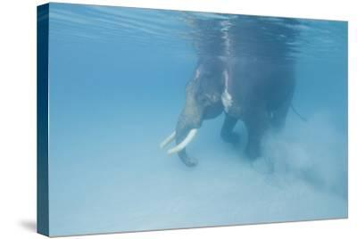Rajan, the Elephant, Walks Underwater Lifting Sand Near a Beach in the Andaman Islands, India-Cesare Naldi-Stretched Canvas Print