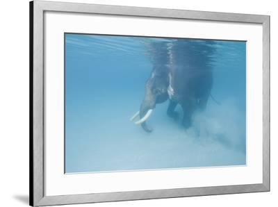 Rajan, the Elephant, Walks Underwater Lifting Sand Near a Beach in the Andaman Islands, India-Cesare Naldi-Framed Photographic Print