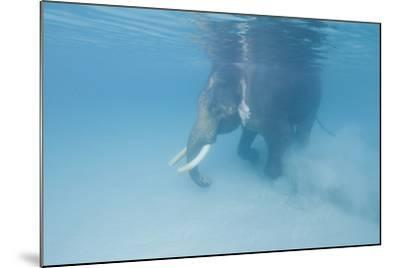 Rajan, the Elephant, Walks Underwater Lifting Sand Near a Beach in the Andaman Islands, India-Cesare Naldi-Mounted Photographic Print