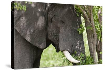 An African Elephant, Loxodonta Africana, Feeding on Leaves from a Tree-Sergio Pitamitz-Stretched Canvas Print