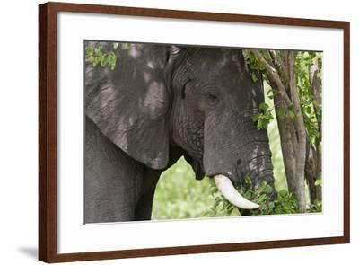 An African Elephant, Loxodonta Africana, Feeding on Leaves from a Tree-Sergio Pitamitz-Framed Photographic Print