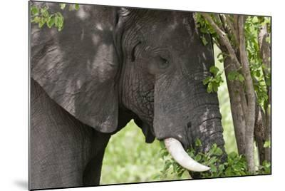 An African Elephant, Loxodonta Africana, Feeding on Leaves from a Tree-Sergio Pitamitz-Mounted Photographic Print