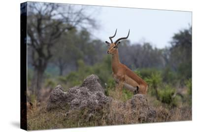 A Dominant Male Impala, Aepyceros Melampus, Surveys the Area from the Top of a Termite Mound-Sergio Pitamitz-Stretched Canvas Print