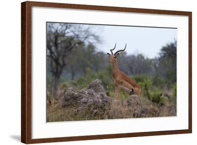 A Dominant Male Impala, Aepyceros Melampus, Surveys the Area from the Top of a Termite Mound-Sergio Pitamitz-Framed Photographic Print