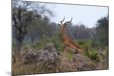 A Dominant Male Impala, Aepyceros Melampus, Surveys the Area from the Top of a Termite Mound-Sergio Pitamitz-Mounted Photographic Print