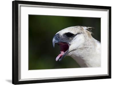 A Crested Eagle Extends its Pink Tongue and Hooked Beak Calling to the Amazon Rainforest-Jason Edwards-Framed Photographic Print