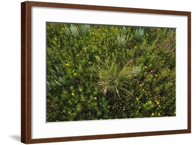 Greenthread, Navajo Tea, or Hopi Tea, Thelesperma Filifolium, in Bloom, and a Clump of Grass-Michael Forsberg-Framed Photographic Print