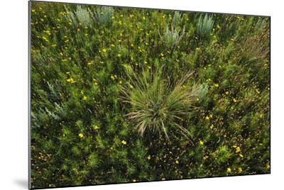 Greenthread, Navajo Tea, or Hopi Tea, Thelesperma Filifolium, in Bloom, and a Clump of Grass-Michael Forsberg-Mounted Photographic Print