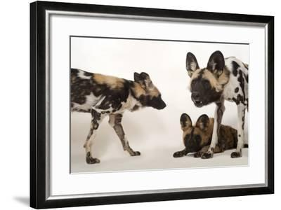 African Wild Dogs, Lycaon Pictus, at the Omaha Zoo-Joel Sartore-Framed Photographic Print