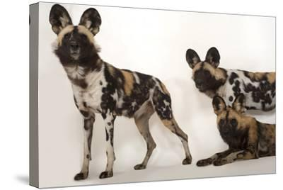 African Wild Dogs, Lycaon Pictus, at the Omaha Zoo-Joel Sartore-Stretched Canvas Print