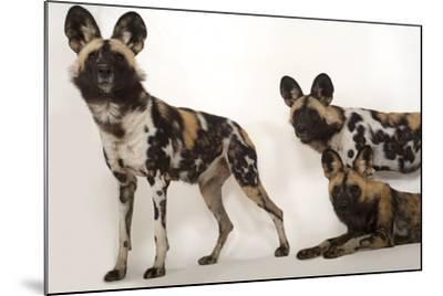 African Wild Dogs, Lycaon Pictus, at the Omaha Zoo-Joel Sartore-Mounted Photographic Print