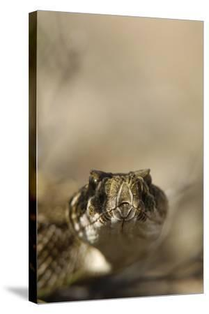 Close Up Portrait of a Prairie Rattlesnake-Michael Forsberg-Stretched Canvas Print