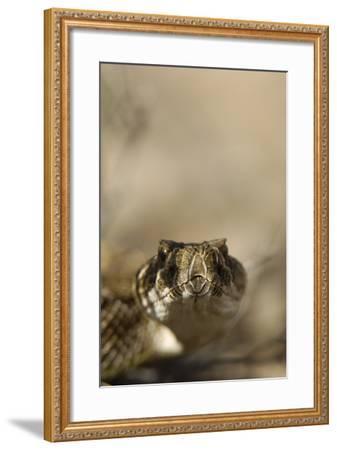 Close Up Portrait of a Prairie Rattlesnake-Michael Forsberg-Framed Photographic Print
