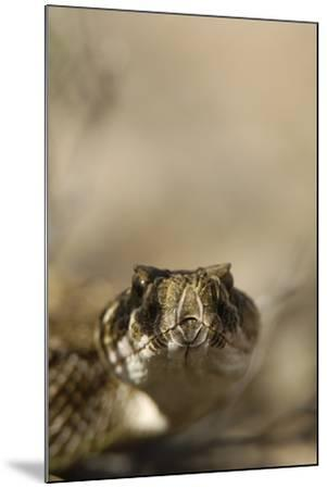 Close Up Portrait of a Prairie Rattlesnake-Michael Forsberg-Mounted Photographic Print