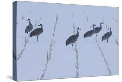 A Flock of Sandhill Cranes Resting in a Cornfield after a Blizzard-Michael Forsberg-Stretched Canvas Print