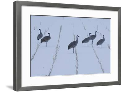 A Flock of Sandhill Cranes Resting in a Cornfield after a Blizzard-Michael Forsberg-Framed Photographic Print