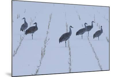 A Flock of Sandhill Cranes Resting in a Cornfield after a Blizzard-Michael Forsberg-Mounted Photographic Print