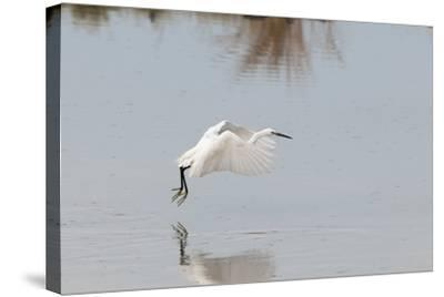 Portrait of a Little Egret, Egretta Garzetta, Flying Low over the Water-Sergio Pitamitz-Stretched Canvas Print