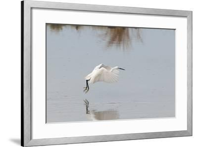 Portrait of a Little Egret, Egretta Garzetta, Flying Low over the Water-Sergio Pitamitz-Framed Photographic Print