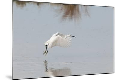 Portrait of a Little Egret, Egretta Garzetta, Flying Low over the Water-Sergio Pitamitz-Mounted Photographic Print
