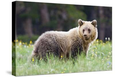 A Grizzly Bear Juvenile Standing in Summer Wildflower Field-Tom Murphy-Stretched Canvas Print