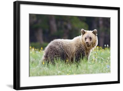 A Grizzly Bear Juvenile Standing in Summer Wildflower Field-Tom Murphy-Framed Photographic Print